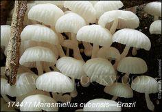 Marasmiellus cubensis - Brazil
