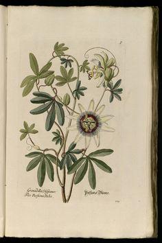 Passiflora | Knorr, G.W., Thesaurus rei herbariae hortensisque universalis, vol. 1: t. 113 (1750-1772)