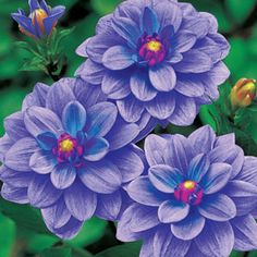 Blue Star Dahlia - sun to part shade/deer resistant at Breck's