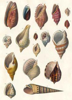 S. Brookes Anleitung zu dem Studium der Conchylienlehre. A. d. Engl. Lpz., Fleischer 1823.