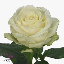 Rose Avalanche As a rule of thumb, the taller the stem the larger the flower head & longer the vase life. A wonderful sturdy rose suitable for wedding bouquets and button holes. Daisy Wedding, White Wedding Flowers, Wedding Bouquets, Bridesmaid Bouquets, Purple Wedding, Bridesmaids, Ivory Roses, White Roses, Wholesale Roses