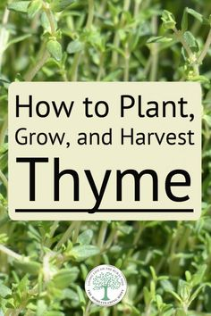 Everything you need to know about growing this wonderful herb in your garden - nothing is left out! Thyme Plant, Thyme Herb, Diy Herb Garden, Garden Plants, Garden Ideas, Pot Plants, Flowering Plants, Balcony Garden, Planting Vegetables