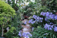 オージーガーデニングのすすめ「長寿の宿根草アガパンサス」 - GardenStory (ガーデンストーリー)
