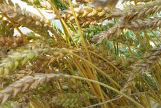 How to grow, thresh, winnow, and store wheat in your backyard garden