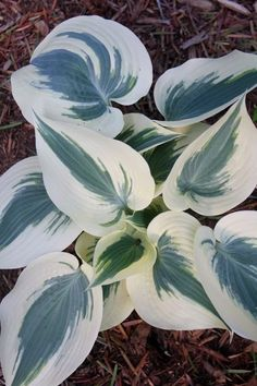 Photo courtesy of Plant Delights Nursery, Inc.                 Hosta 'Blue Ivory' PP 19,623 (B. Meyer/L. Klinkhamer NR)