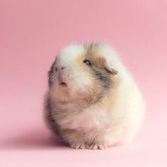 The Guinea Pig Daily: Teddy. This one is like the pig version of a dandelion fluff and it's killing me. Baby Guinea Pigs, Guinea Pig Care, Pet Pigs, Cute Baby Animals, Funny Animals, Farm Animals, Guinea Pig Breeding, Guniea Pig, Cute Piggies