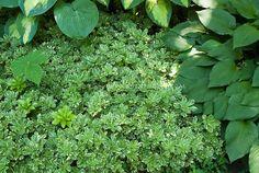 grass alternative ground cover | Pachysandra terminalis 'Variegata'