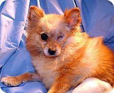Pomeranian Dog for adoption in Studio City, California - Mimi