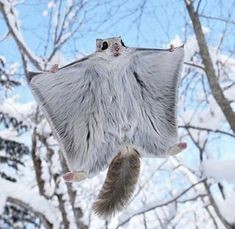Are you in need of a tiny, adorable animal to look after and cherish? Look no further than a beautiful, Flying Squirrel. These animals are true pocket pets. Flying Pet Squirrels develop strong bonds with their owners...