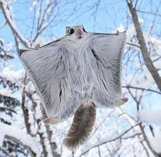 sugar glider?  too cute!