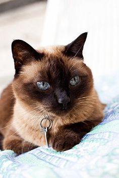 Applehead Siamese Cats | Siamese Cat Photos | Siamese Cat #SiameseCat