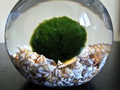 morimo moss ball. I have had mine for a couple of years now. I like having a water element in the house.