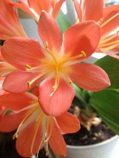 Clivia <3 Do You like the color? :)