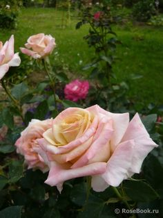 Excellent Screen Hybrid Tea Roses united kingdom Ideas Hybrid tea would be the . - Excellent Screen Hybrid Tea Roses united kingdom Ideas Hybrid tea would be the oldest number of ca - Exotic Flowers, Pink Flowers, Types Of Roses, Rose Pictures, Hybrid Tea Roses, Rose Bush, Flower Aesthetic, Rose Photography, Different Flowers