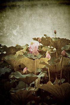beijing water garden - lily by lymond, via Flickr