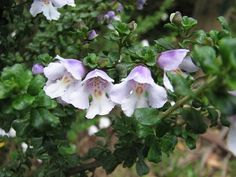 Prostanthera cuneata flower.  Alpine Bush Mint from Australia / NZ.  List of local nurseries in WA, OR.