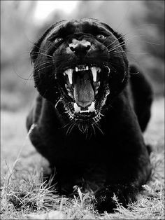 Panther hyped tf up. Black Animals, Animals And Pets, Cute Animals, Beautiful Cats, Animals Beautiful, Black Panther Cat, Black Panther Tattoo, Regard Animal, Gato Grande