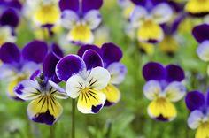 Garden Bulbs, Shade Garden, Fleur Pansy, Johnny Jump Up, Spring Scene, Yellow Cottage, Fondant Flowers, Colorful Garden, Flower Boxes
