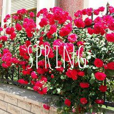 #happyspring #roses ❤