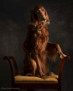 Penny, the Irish Setter. Photo by Paul Croes.