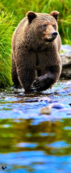 AWESOME FACTOID: The bite of a grizzly bear can crush a bowling ball.