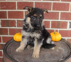 Breed: German Shepherd Gender: Female Registry: AKC Personality: lovable Date Available: Oct 26 2020 Sally is a stunning German Shepherd pupper from New Haven, IN! She loves to play, cuddle, and catch puppy snoozes. She does very good with children and will make a great family dog. Sally is vaccinated and has a three monthRead More The post Sally – female AKC German Shepherd pupper for sale at New Haven, Indiana appeared first on VIP Puppies - Puppy Finder - Puppies for Sale & Puppies for…