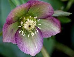 Nieswurz / lenten rose (Helleborus x hybridus)