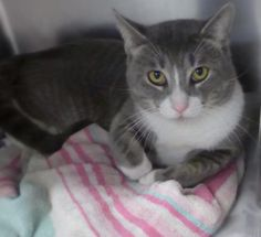 Adopted!! Jordan, a adoptable Domestic Short Hair - gray and white Cat   Mount Holly, NJ