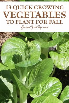Quick Growing Fall Vegetables Quick Growing Fall Vegetables,~Vegetable Gardening Extend your vegetable garden into fall and you will be rewarded with fresh harvests a little longer. You will be surprised what you can grow. Gardening For Beginners, Gardening Tips, Gardening Supplies, Gardening Courses, Gardening Gloves, Bucket Gardening, Gardening In Texas, Gardening With Kids, Desert Gardening