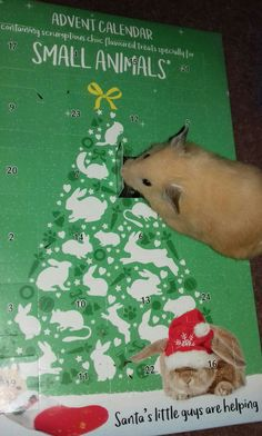 Biscuit loves his choc advent calendar!