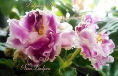 Saintpaulia, Gardens, Indoor, Rose, Flowers, Plants, Interior, Pink, Outdoor Gardens