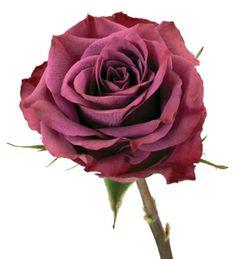 """ascot"" purple rose | Delaware Valley Wholesale Florist"