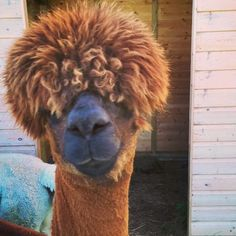 Morning Samuel! #alpaca #alpacatrekking #glamping #Northumberland #visitnland #itsinournature