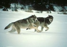 Did hunting with the wolf accelerate human evolution?