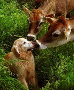 well isn't this magical?  -dog meets cows
