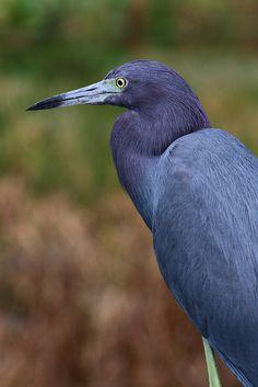 'Little Boy Blue' Little Blue Heron by Pete {PelicanPete}, Florida Wetlands
