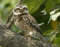 Some common owl species are ferocious predators of mice and other rodent pests, so it makes sense to invite them into the neighborhood by installing an owl house. Read this article for tips on owl house design. Garden Owl, Garden Animals, Dream Garden, Get Rid Of Chipmunks, Get Rid Of Squirrels, Owl Species, Owl Box, How To Attract Birds, Owl House