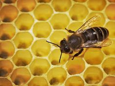 Bienenseuche: Tierärzte richten Sperrbezirk am Kaiserstuhl ein     Foto: DPA