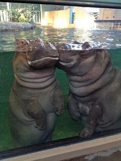 Hippo kisses