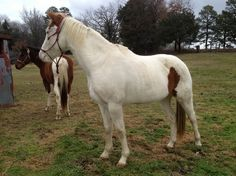 Beautiful Paint Mare for sale in Conway, Arkansas, United States of America :: HorseClicks