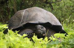 新種のゾウガメを特定、ガラパゴス諸島 国際ニュース:AFPBB News