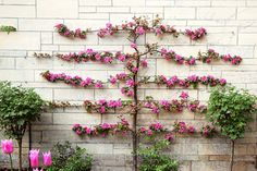 Learn the art of espalier—growing trees or shrubs in two dimensions. It's  a time-honored fix for the space-challenged garden. | Photo: Lynn Keddie/GAP Photos | thisoldhouse.com