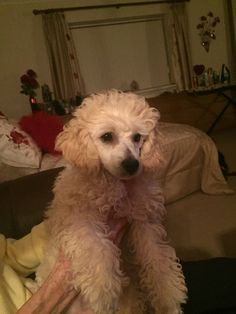 New edition toy poodle Teddy