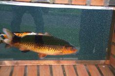 Pond, Fish, Animals, Water Pond, Animales, Animaux, Pisces, Animal, Animais