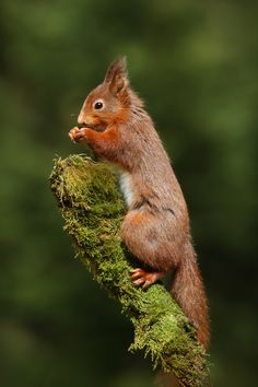A wild Red Squirrel feeding on Hazelnuts at the top of a moss covered stump