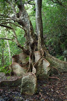 Buttress roots of looking-glass mangrove in Yanbaru jungle, Okinawa, Japan