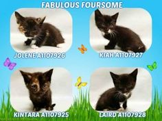 FOSTER NEEDED FOR A QUARTET OF 5 WEEK OLD KITTENS WITHOUT A MOM CAT.