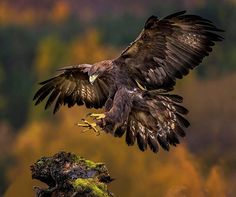 Bird Of Prey Tattoos Golden Eagle 18 Ideas For 2019 Eagle Images, Eagle Pictures, Animal Pictures, Black Eagle, Golden Eagle, Beautiful Birds, Animals Beautiful, Bird Of Prey Tattoo, Rabe Tattoo