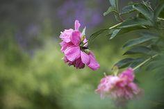Пион.Усадьба Грибаново. Россия. фото: Ирина Майсова #flowers #wildflowers #bouquetflowers #nature #ecology #photoirinamaysova #peony