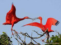 Pantanal | Brasil <3 Guará Vermelho